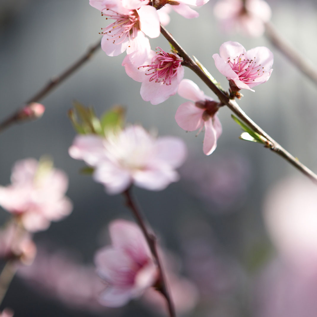 Pacific Light – Pink Grey Blossom